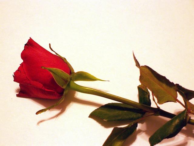 roses-2-1198441-640x480